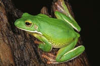 Indonesian White Lipped Frog