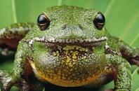 Barking Tree Frog, Florida