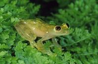 Glass Frog, Centrolenella sp., Costa Rica
