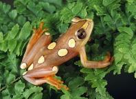 Argus Reed Frog, Hyperolius argus, Africa