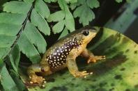 Olive Atelopus Frog, Peru