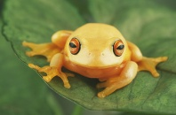 Graceful Orange Eye Tree Frog, Australia