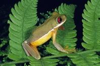 Costa Rican Brook Frog