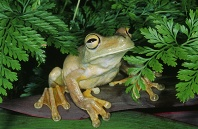 Rosenberg's Tree Frog, Costa Rica
