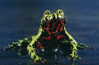 Oriental Fire Bellied Toad, North East China