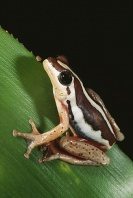 Reed Frog, Africa