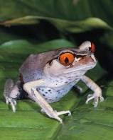 Red-Eyed Toed, Madagascar
