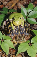 Barking Tree Frog on The Back of a Box Turtle, Florida