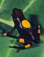 Bullseye Poison Arrow Frog, Dendrobates histrionicus