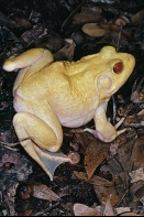Albino Bull Frog, Rana catesbeian, Florida