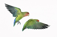 Peach Faced Love Birds in Flight