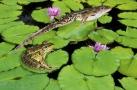 Leaping Leopard Frogs