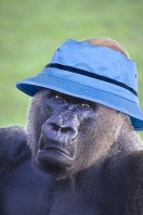 Stylish Gorilla