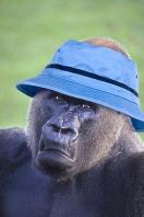 Stylish Gorilla
