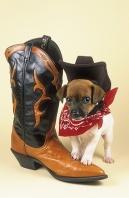 Jack Russell Puppy Cowpoke