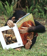Chimpanzee Having a Close Up Look at His Primate Book