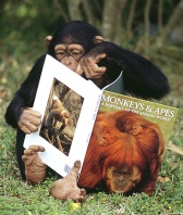 Chimpanzee Pointing at His Favorite Picture in a Primate Book