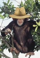 Chimpanzee Wearing Safari Hat