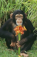 Chimpanzee Holding a Bouquet of Flowers