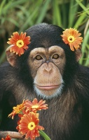 Chimpanzee Wearing Flowers on His Head