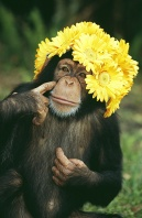 Chimpanzee Wearing a Yellow Flower Bonnet