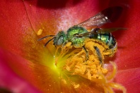 Metalic Green Bee Collecting Pollen