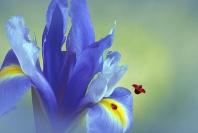 Lady Bugs and Purple Iris