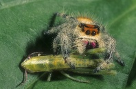 Jumping Spider Feasting on a Grasshopper