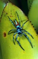Jumping Spider, Peru