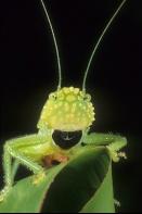 Funny Face Katydid, Costa Rica