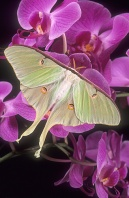Luna Moth on a Orchid, Florida