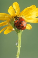 Lady Bug and Raindrops on a Yellow Flower