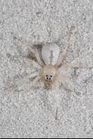 Wolf Spider Camouflaged in The Sand, Florida