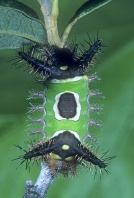 Saddleback Caterpillar, Venomous, Florida
