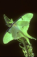 Luna Moth, Florida