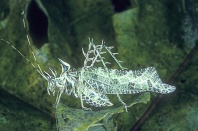 Lichen Katydid, Markia hystrix, Rainforest Ecuador