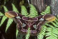 Rothschildia Moth, Rainforest Ecuador