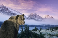Grizzly at Dawn, Glacier National Park, Montana