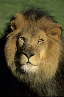 Male Barbary Lion
