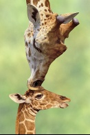 Mother Giraffe Kissing Baby