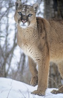 Mountain Lion in the Snow, Montana