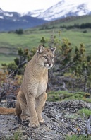 Mountain Lion Sitting on a Rock, Montana