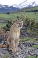 Mountain Lion Sitting on a Rock, Montana