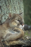 "Florida Panther, ""The Thinker"""