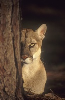 Florida Panther Peeking From Behind a Tree