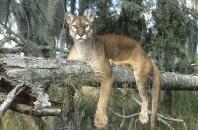 Florida Panther Resting on a Tree Limb