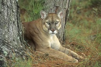 Florida Panther Resting in a Wooded Area