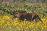 Florida Panther Walking Through a Field of Wildflowers