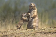 Black Tailed Prairie Dog Adult and Baby, Arizona