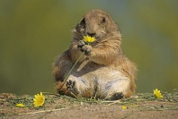Black Tailed Prairie Dog Munching on a Flower